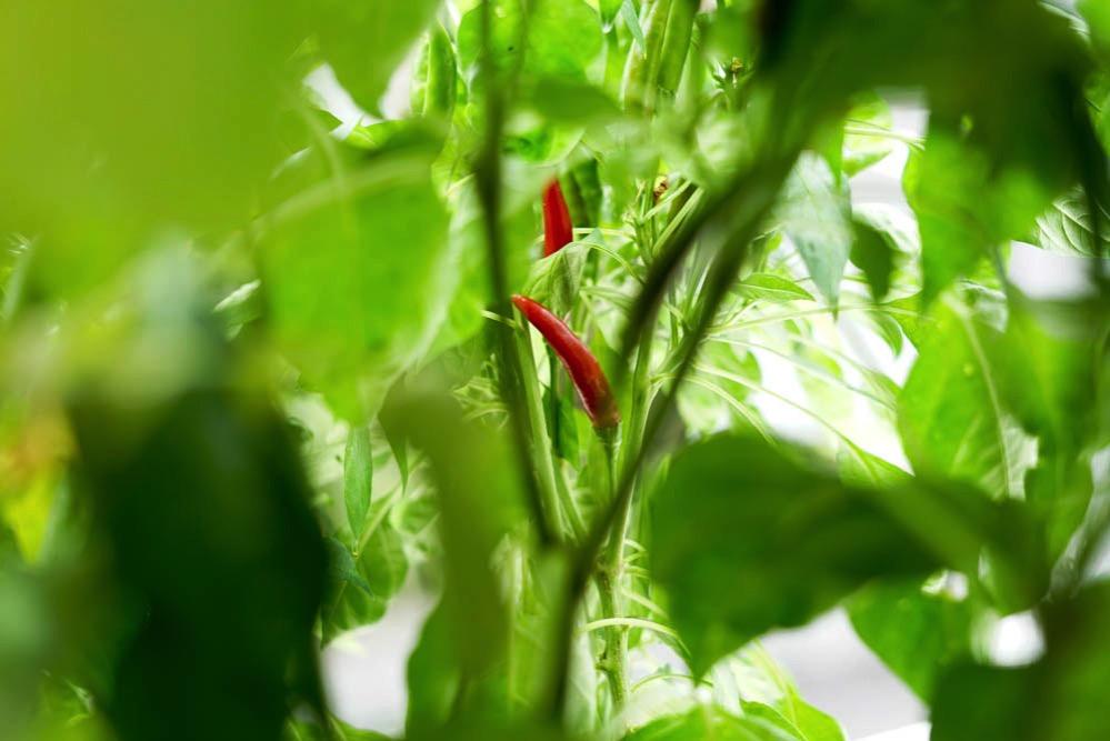 170804 red pepper harvest 01