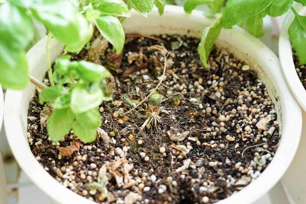 170828 remove mini tomato 02