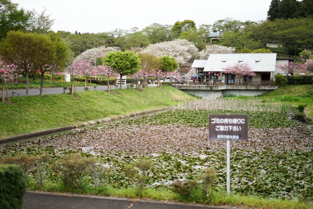 180429 ibaraki shizumine park yaezakura 07