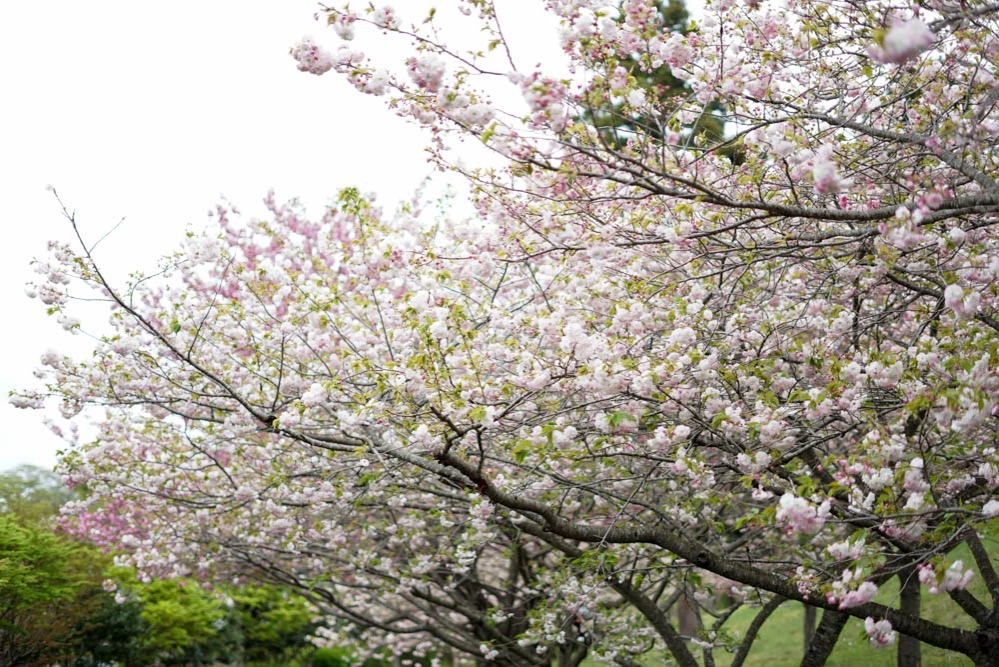 180429 ibaraki shizumine park yaezakura 08