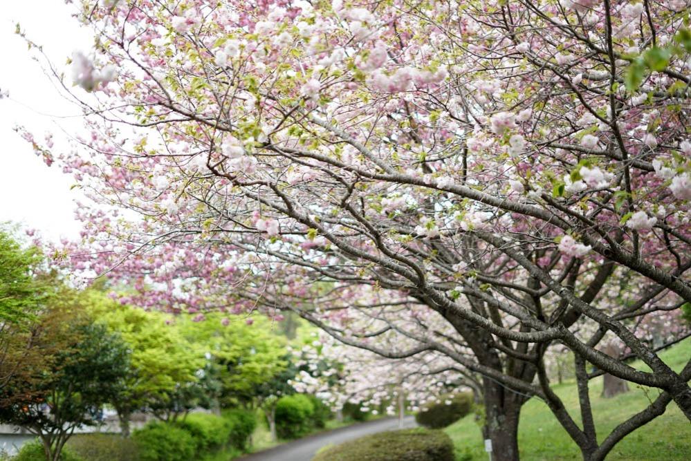 180429 ibaraki shizumine park yaezakura 10