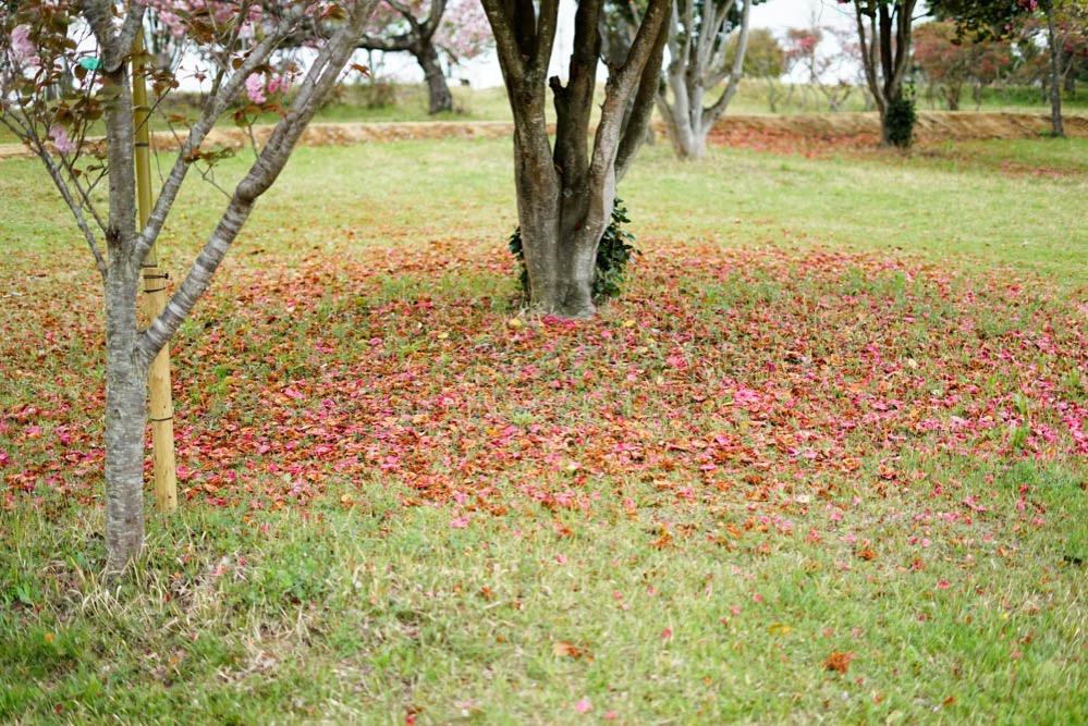 180429 ibaraki shizumine park yaezakura 20
