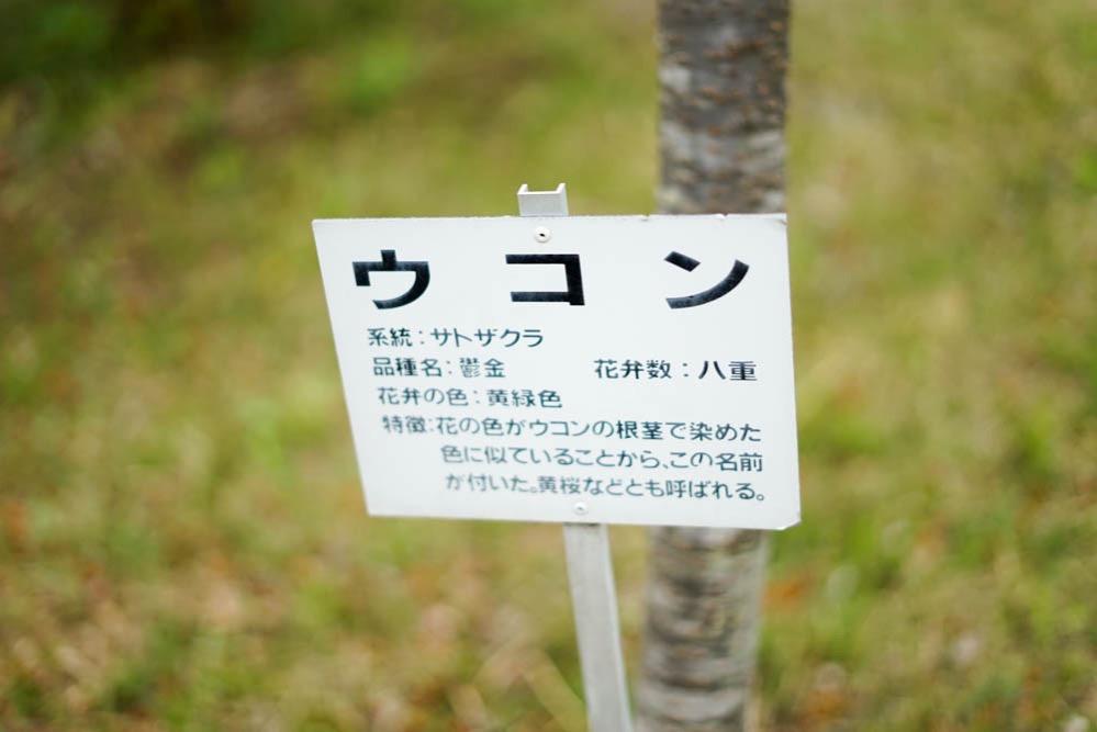 180429 ibaraki shizumine park yaezakura 22