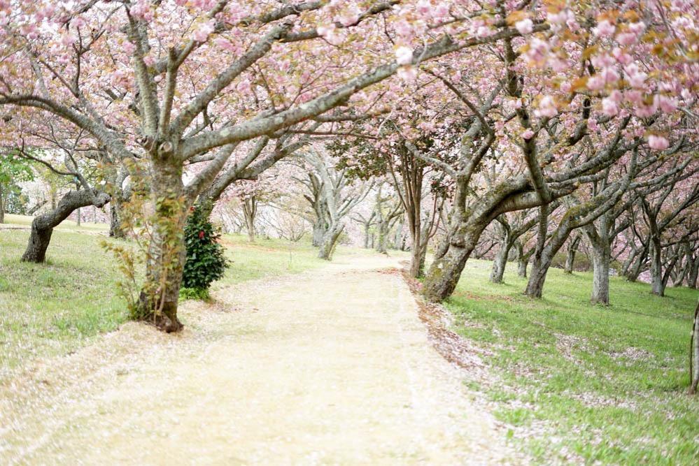 180429 ibaraki shizumine park yaezakura 23