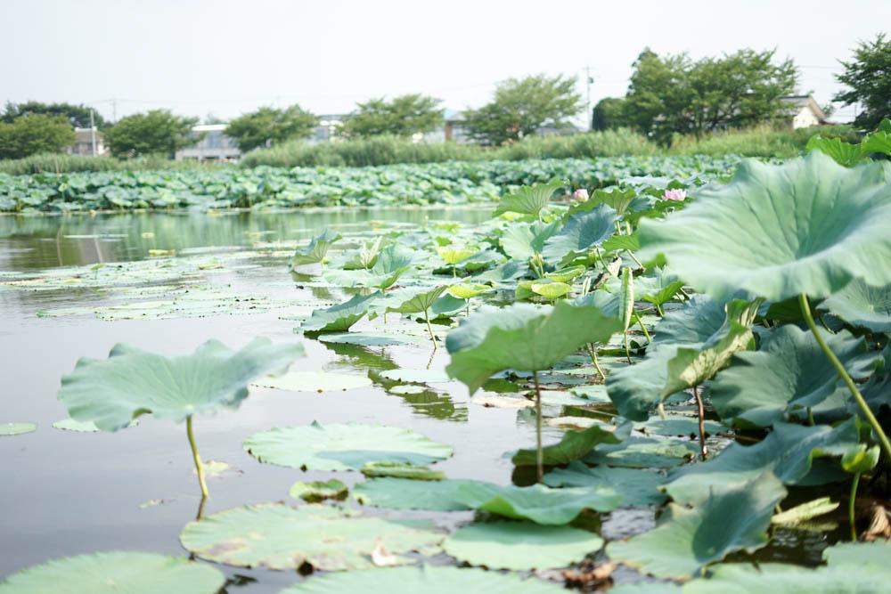 180723 tatebayashi lotus boat 11