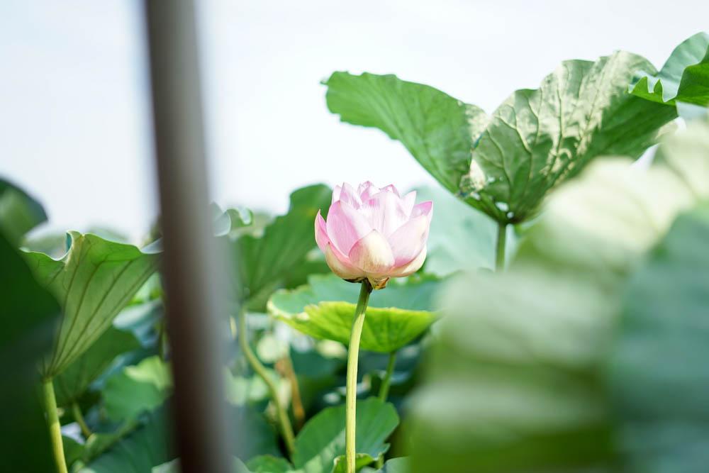 180723 tatebayashi lotus boat 12